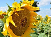 crop_sunflower_BELLA_flower w50o
